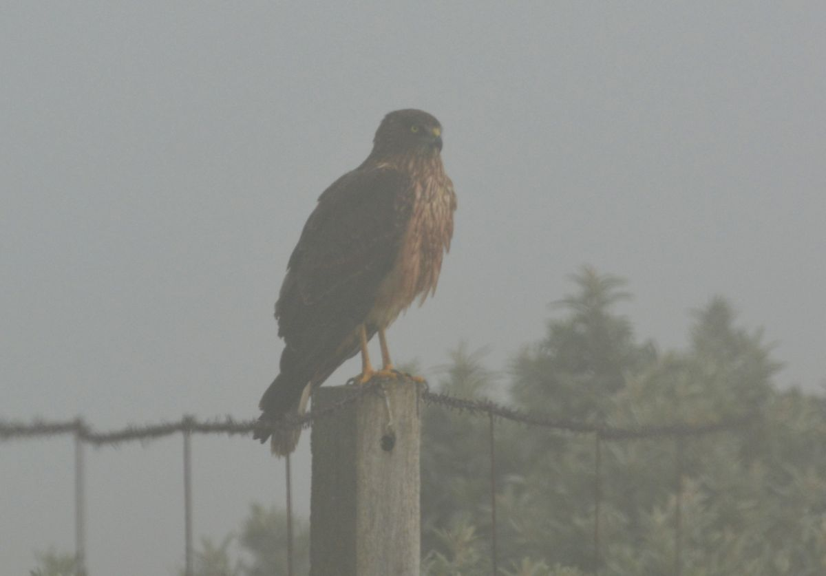 This is the closest I've ever been to a sitting Swamp Harrier.  Now I know what they look like in the fog.