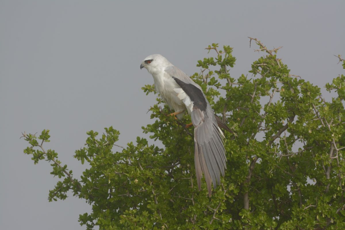 Down near the beach with a bit of a break in the cloud and some sunlight came out and the Black-shouldered Kite responded with a wing stretch.