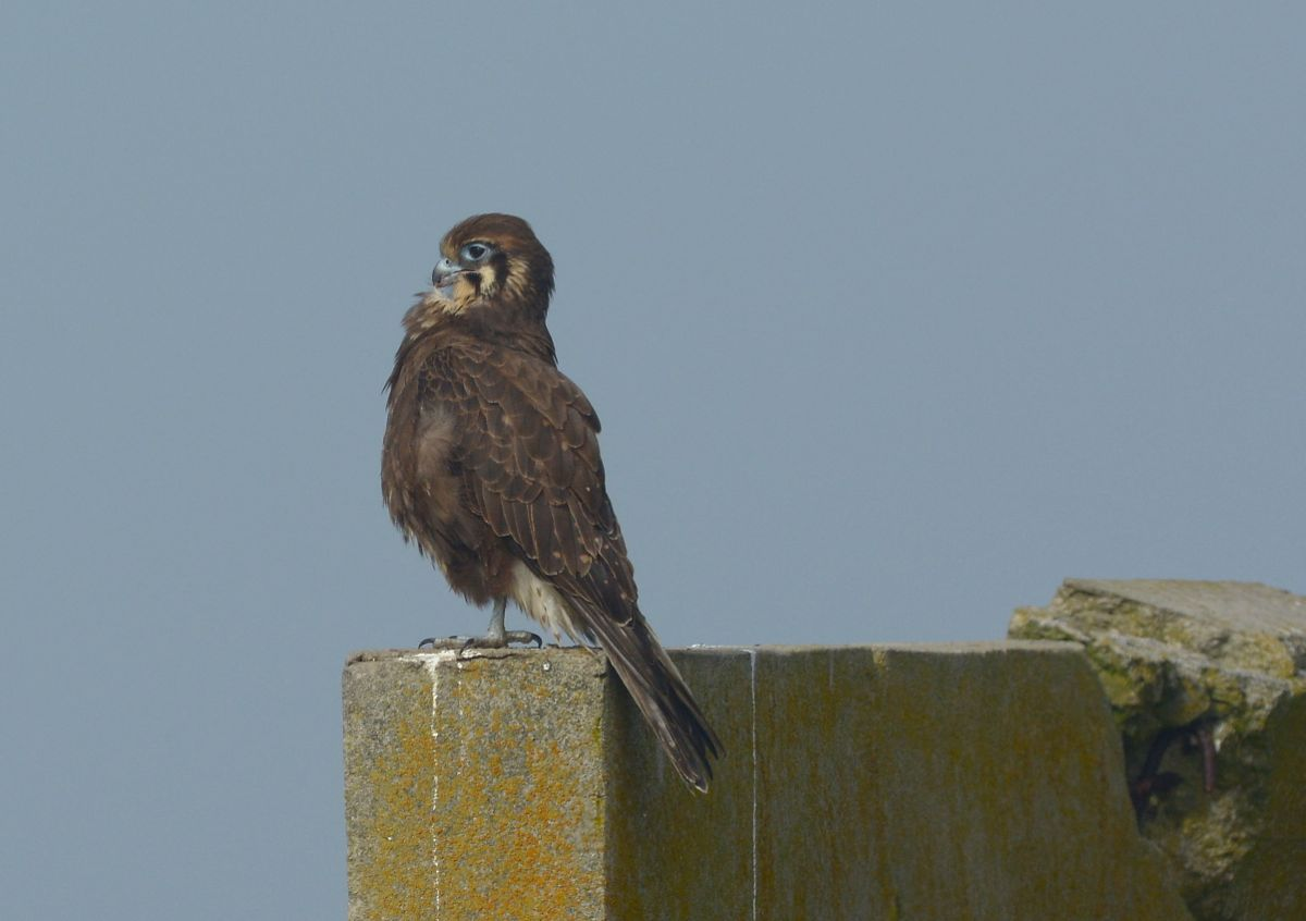 "Brown Falcon down on ""Brown Falcon Bunker"" at the turn on Twenty Nine Mile road.  Most WTP visitors will know this bird.  here it's having a bit of a preen in the sunshine."