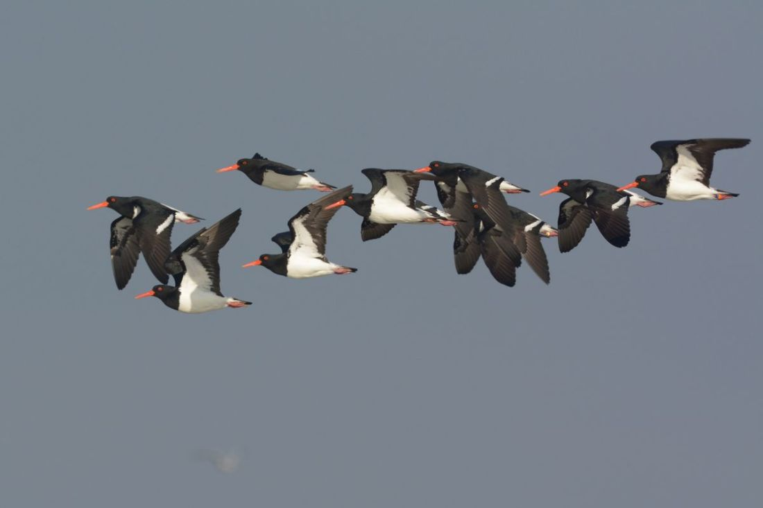 I've only ever seen the odd one or two Pied Oystercatchers. Nice surprise to see a veritable flock.