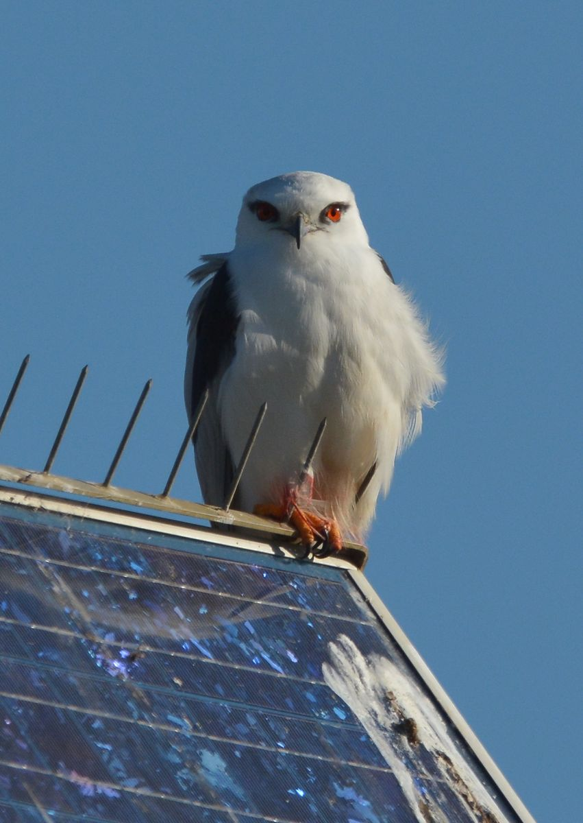 Black-shouldered Kite, sitting on a solar panel with the sharp metal spikes to keep birds from perching on there.  Yep, they work well don't they. Its showing a good deal of warpaint from its last meal.