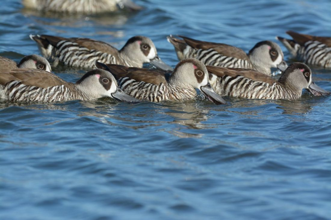 Pink-eared Ducks hunting in  line.