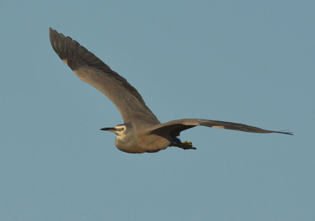 White faced Heron in flight with neck tucked up