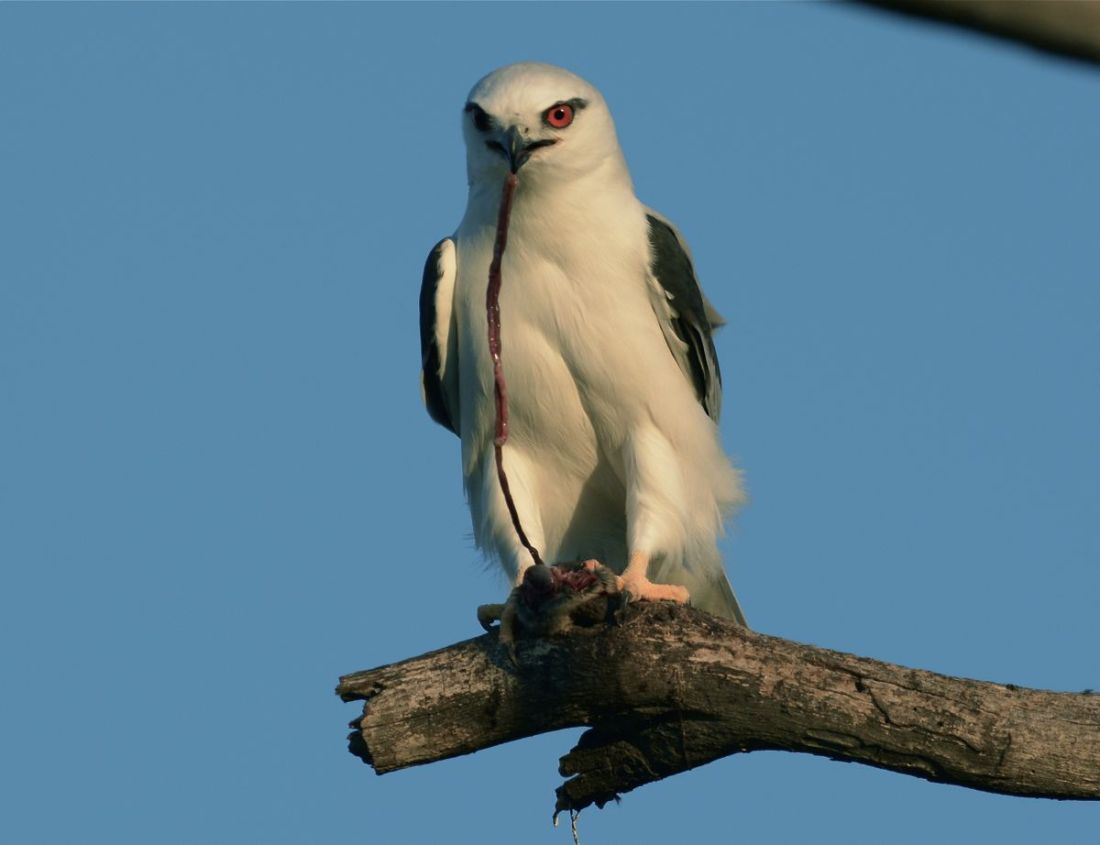 Nice catch.  Black-shouldered Kite taking a late evening snack.