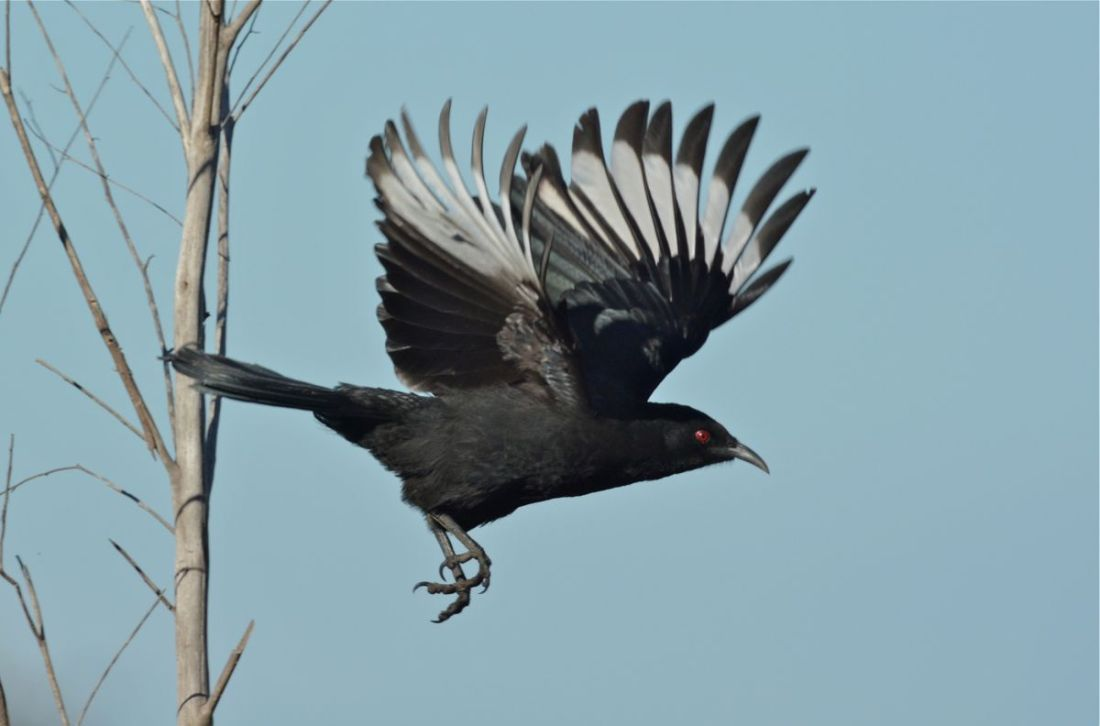 """Why are they called """"White-winged"""" Choughs. Now you know."""