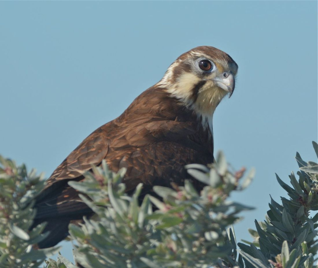 Lovely Brown Falcon who played fence hopping as we drove along the roadway