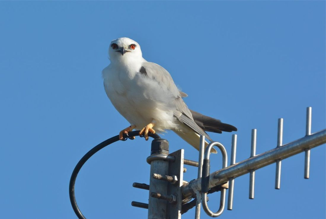 A Black-Shouldered Kite with its mouse finding radar