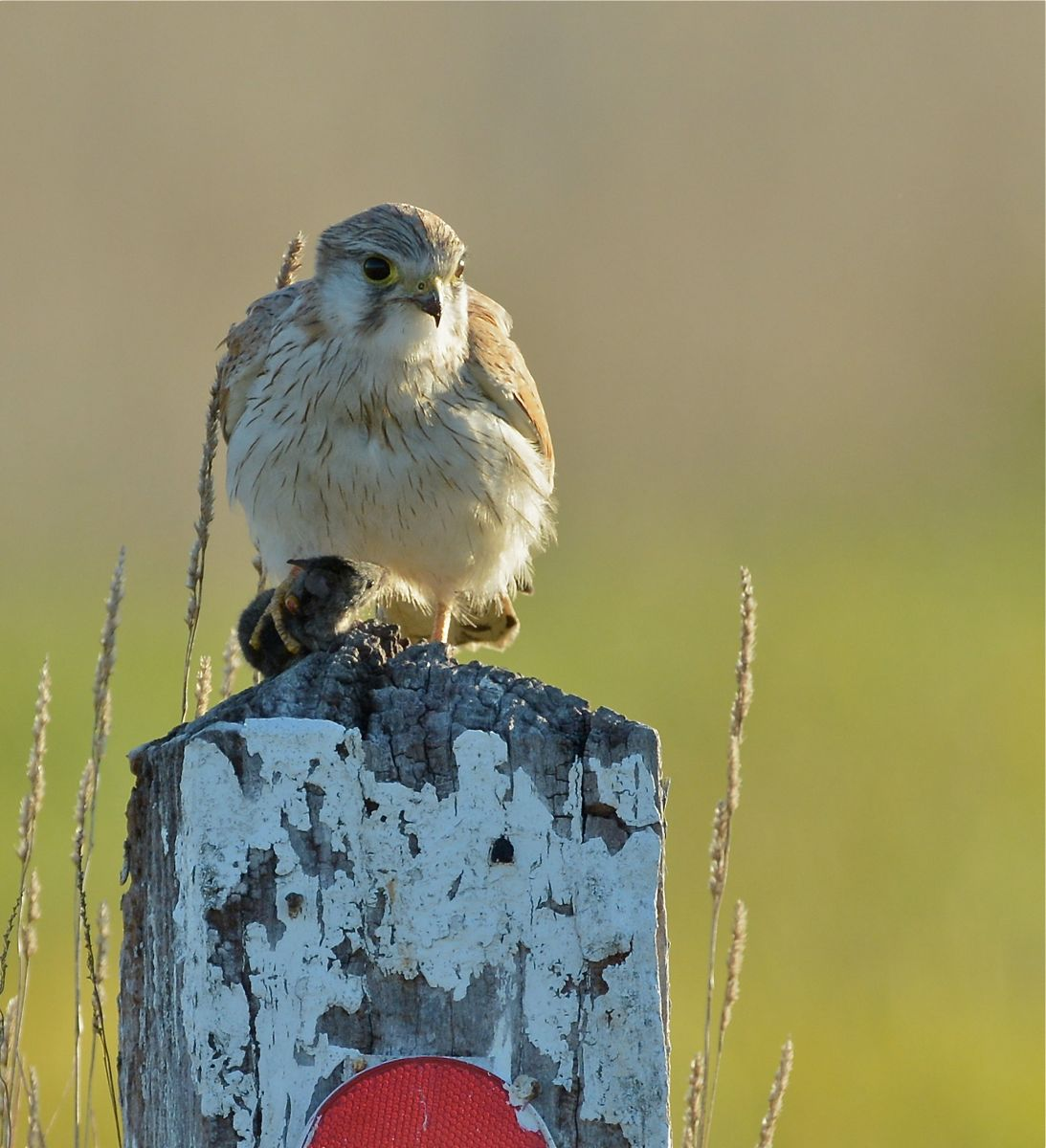 Nankeen Kestrel, just about to enjoy her evening snack. She is already aware of the approaching marauding Black Falcon