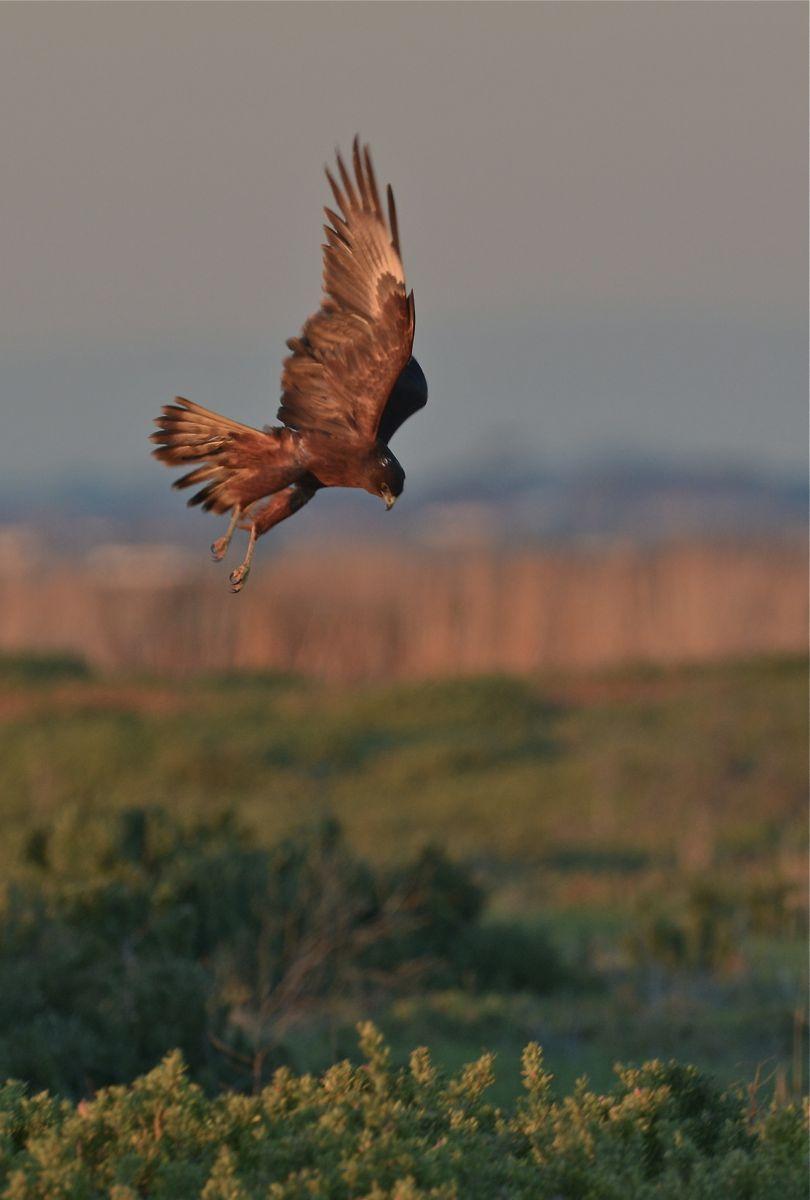 Swamp Harrier doing just that. Harriering.