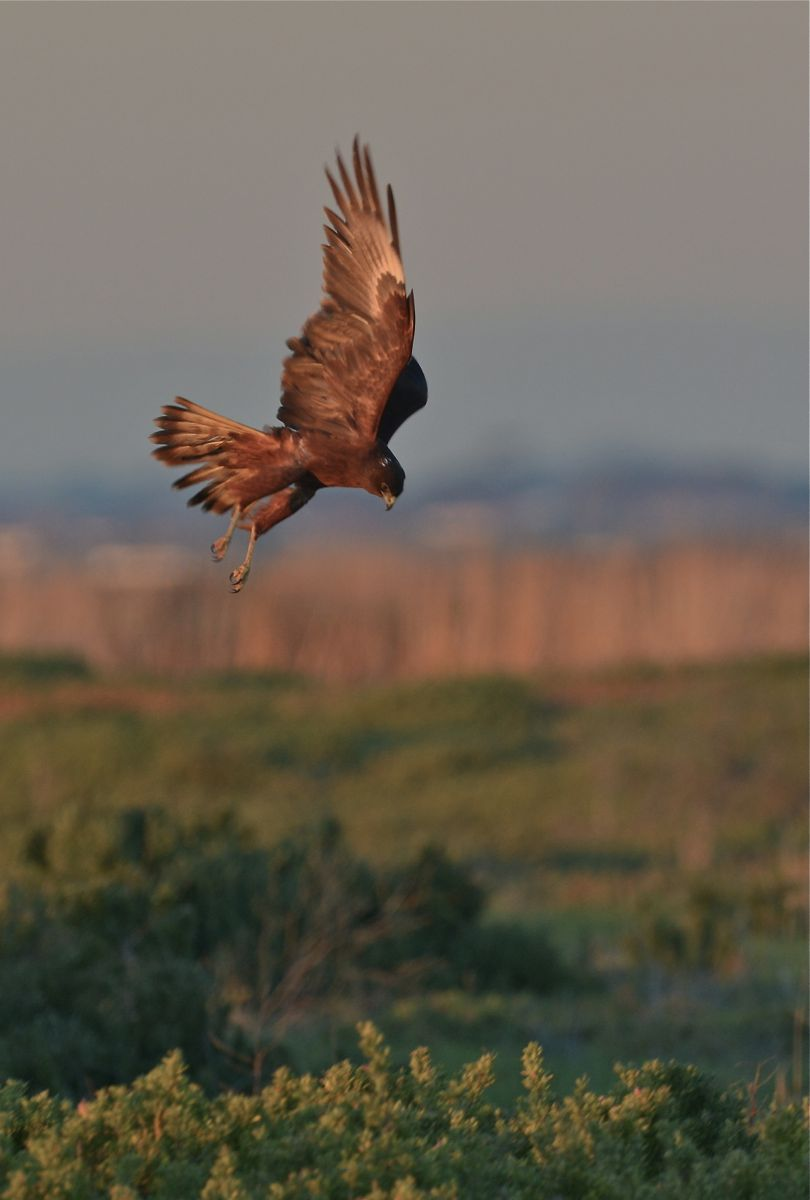 Swamp Harrier doing just that. Harriering.