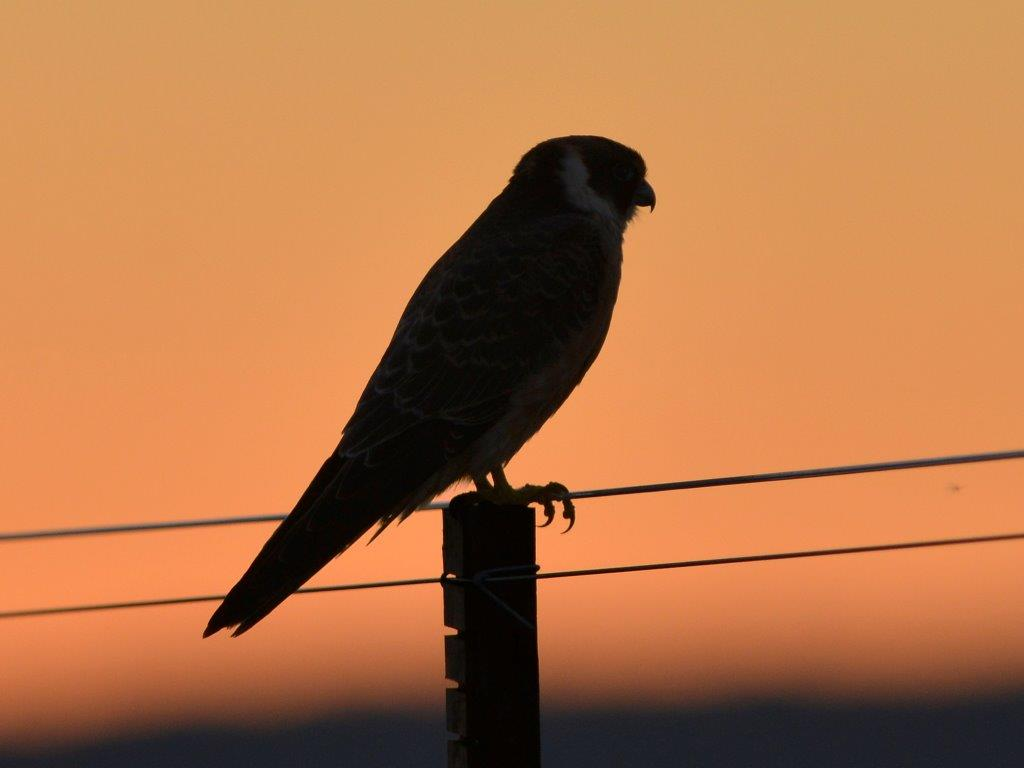 Hobby against the evening sky. (C) 2013 Mr An. Onymous