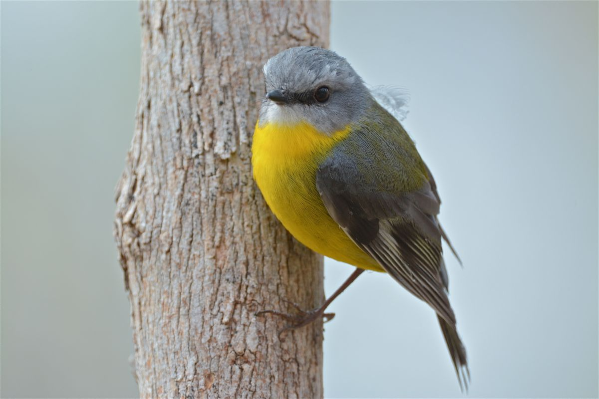 Typical Eastern Yellow Robin pose