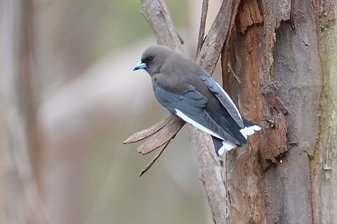 Dusky Woodswallow Tail display