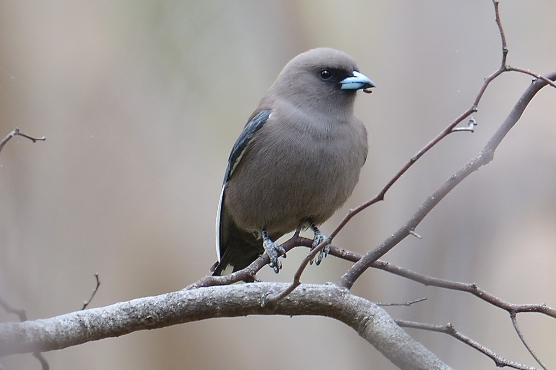 Dusky Woodswallow with a snack