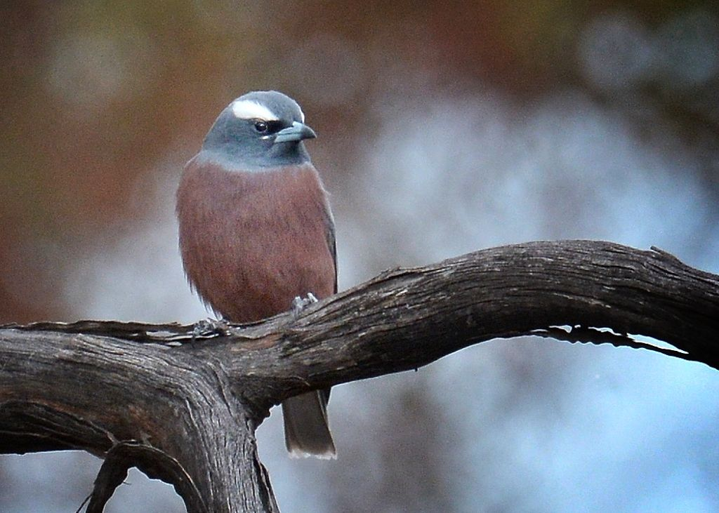 White-browed Woodswallow