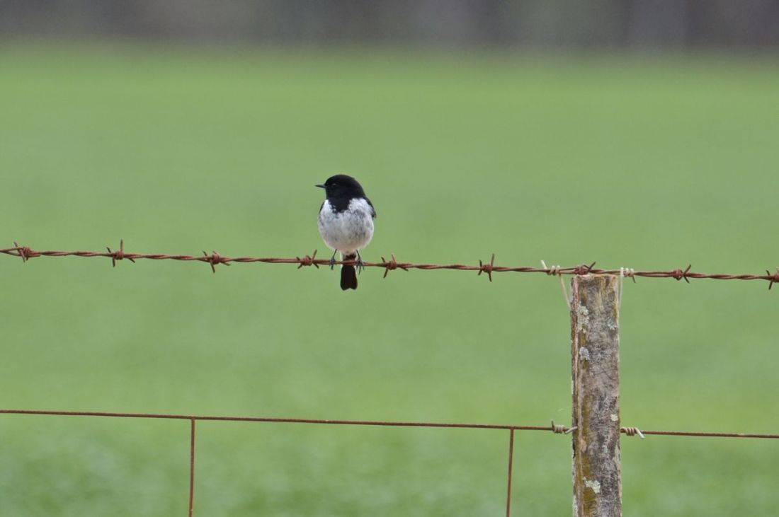 Hooded Robin overlooking his domain.