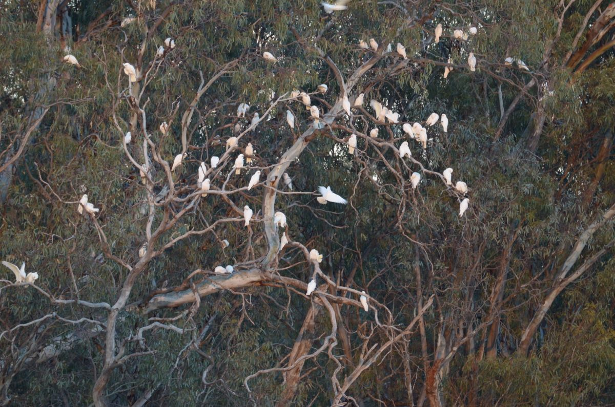 Little Corellas settling noisily in for the night