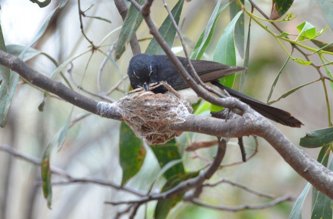 Hard at work still, but again the nest is really well stitched to the branch.