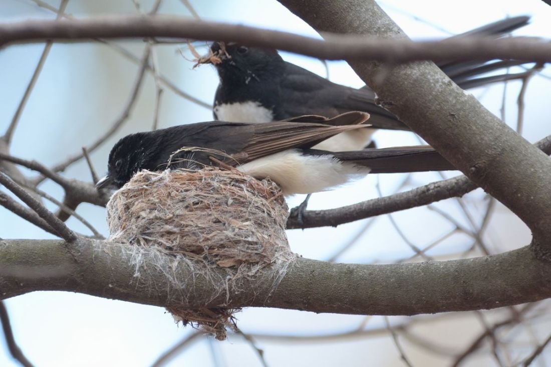 Both male and female work on the nest building and both sit on the eggs