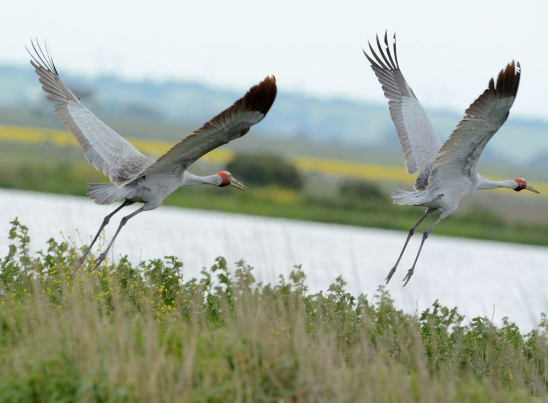 Brolga pair. I was so excited I forgot to level the camera.