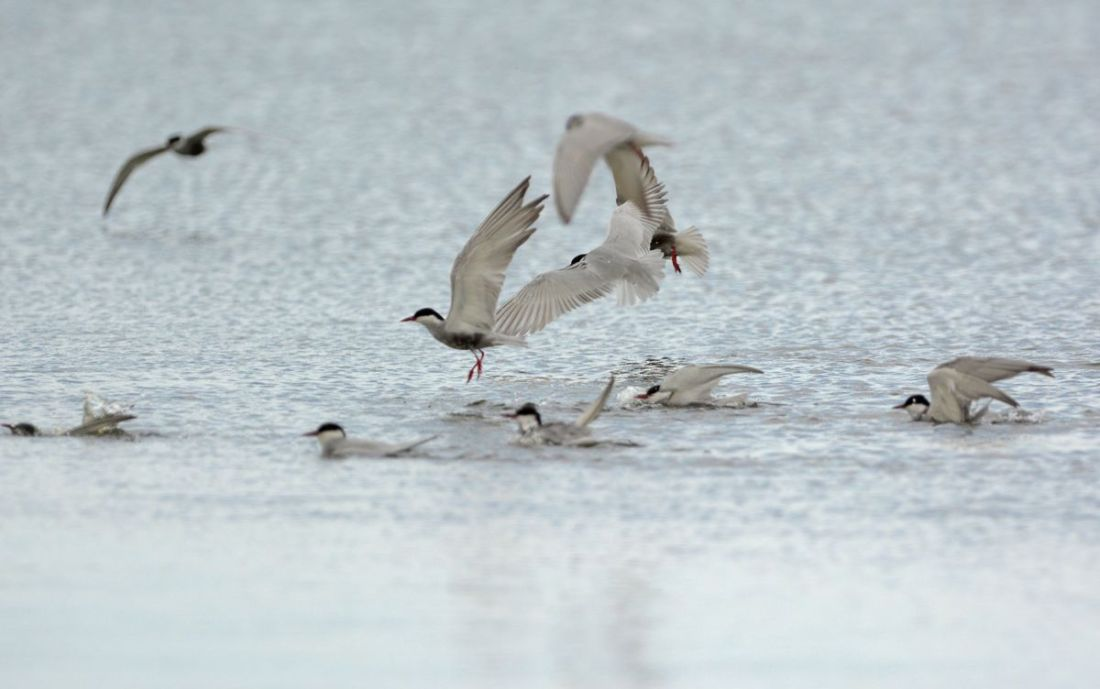 Whiskered Terns bathing.  They seemed to take delight in dropping down on one another in the water