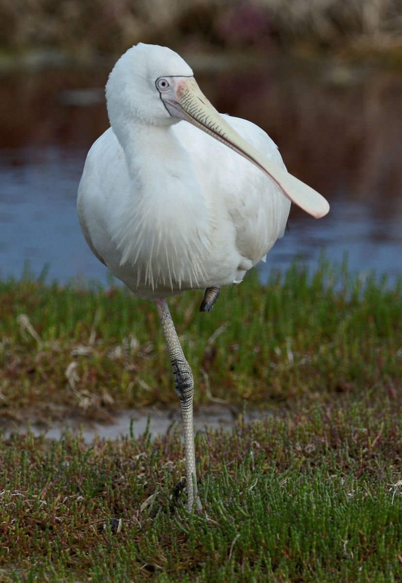 One legged stance on this Spoonbill kept us amused.