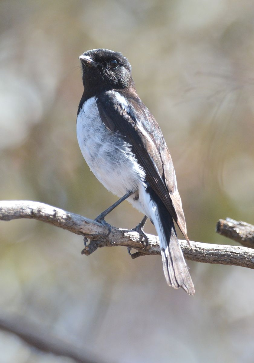 Most elegant and distinctive Hooded Robin, male.