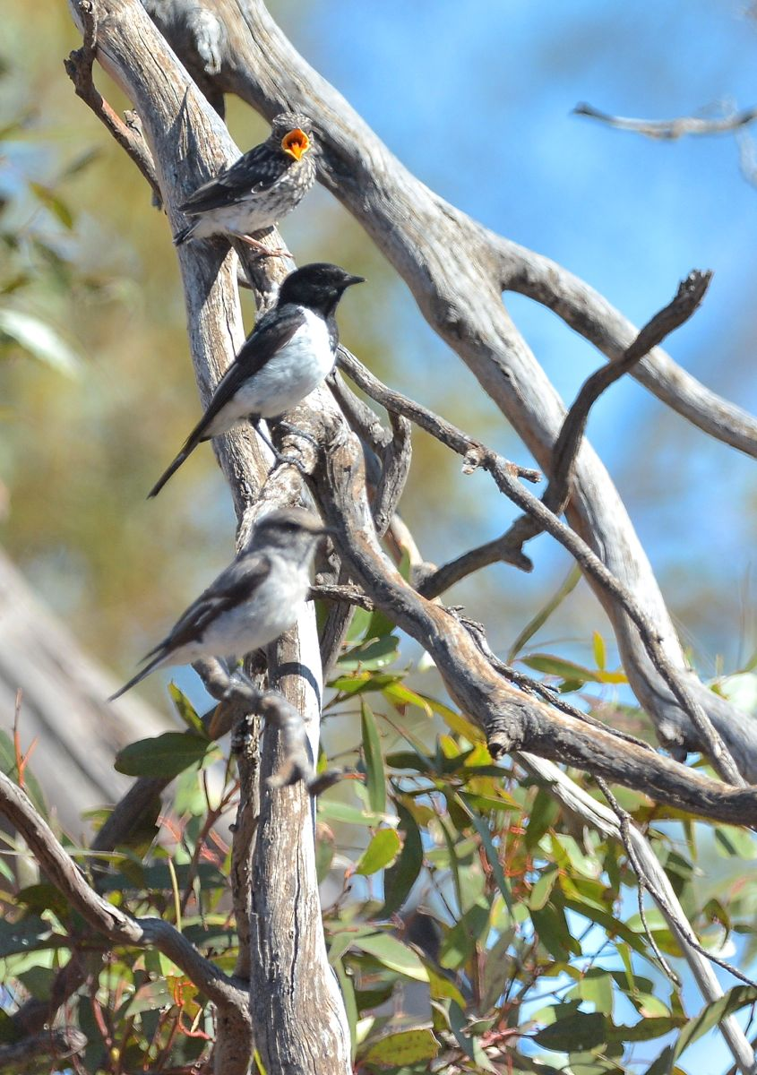 Hooded Robin, family group. Junior thinks its feeding time.
