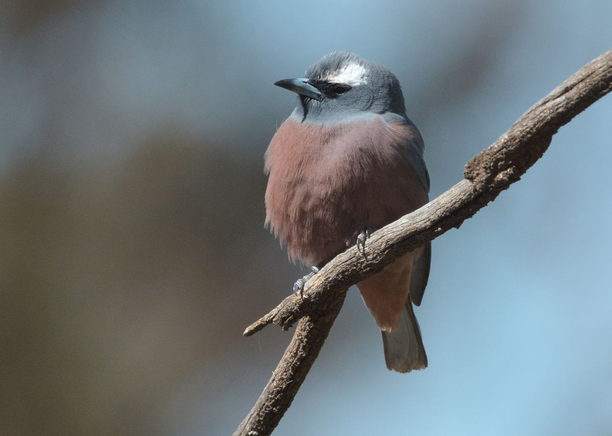 I often try but hardly succeed, to get a sharp shot of the White-browed Woodswallow.