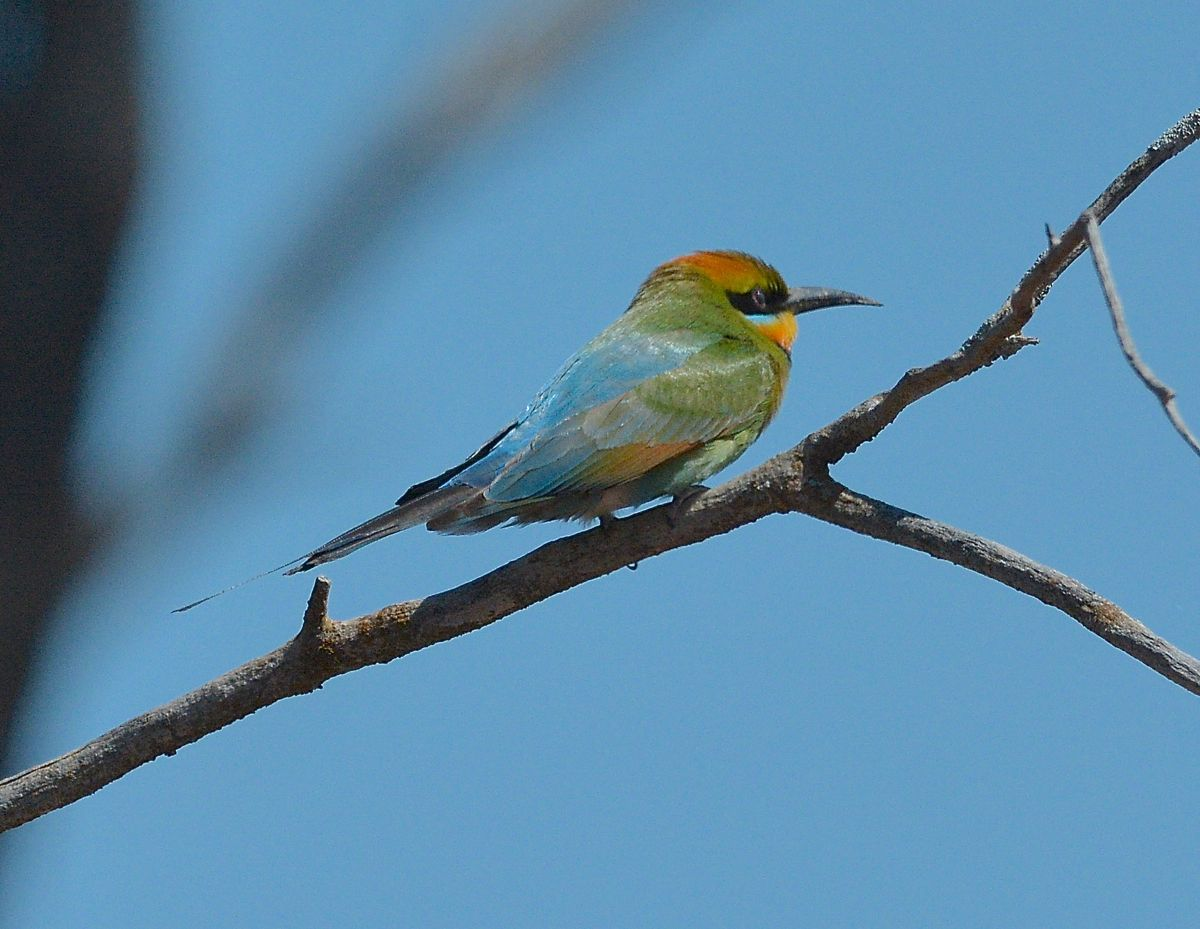Rainbow Bee Eater. The streamers in the tail suggest a male
