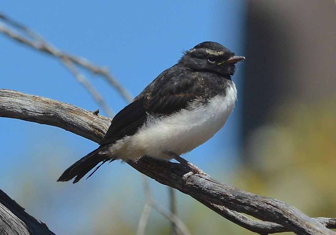 New fledged Willie Wagtail