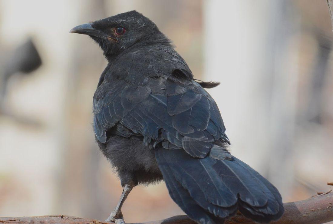 A juvenile, still has the brown eye colour
