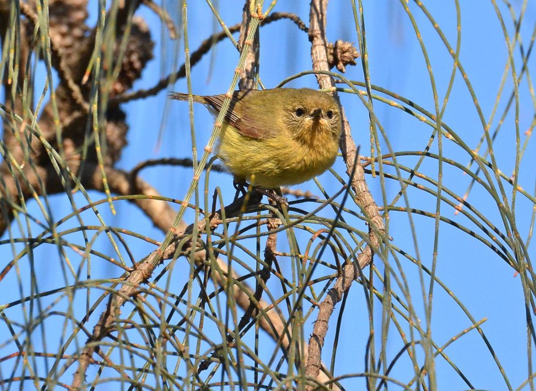 Yellow Thornbill among the She-oak leaflets.