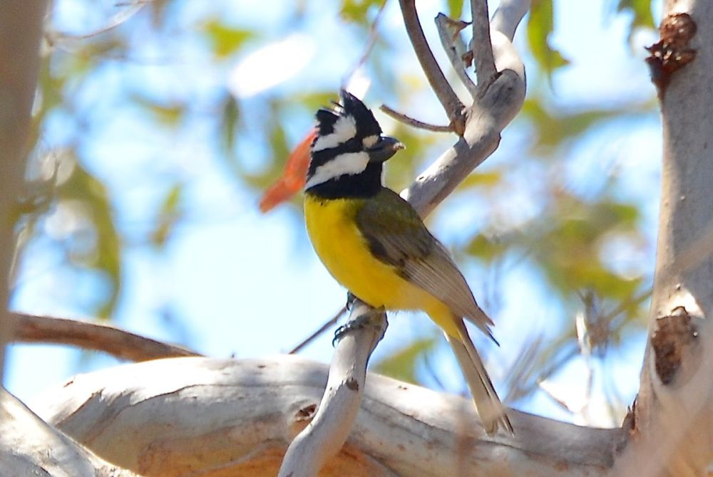Wandering with the Wagtails.  Werribee that is (5/6)