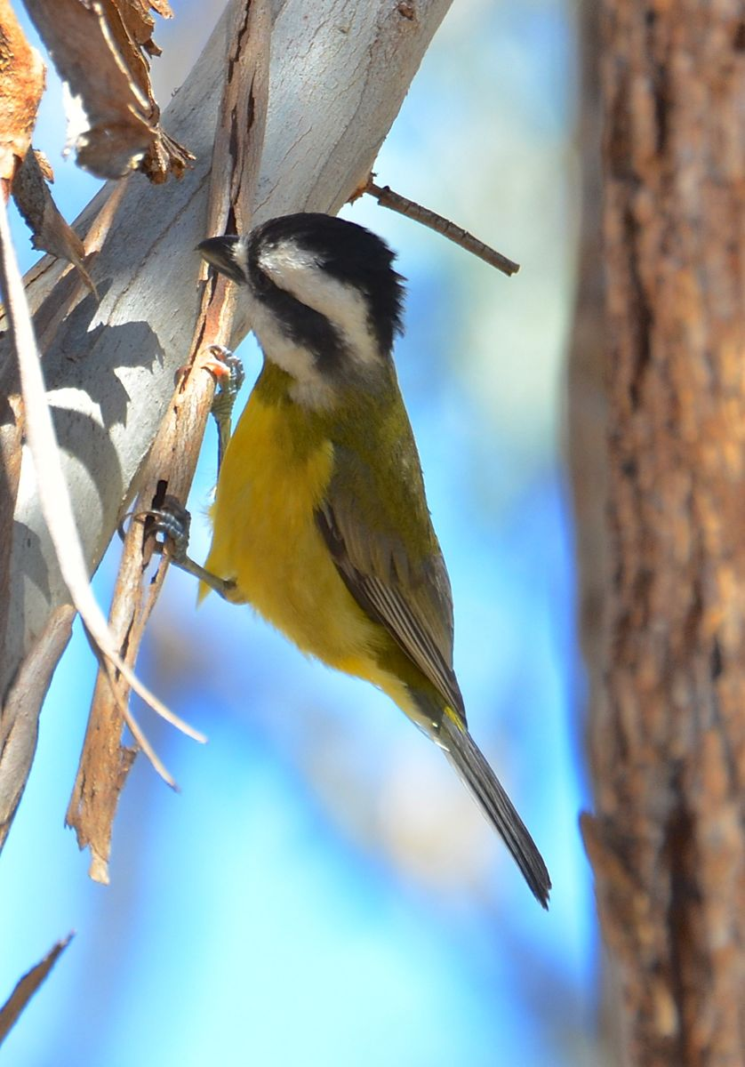 Crested Shrike-tit at work.