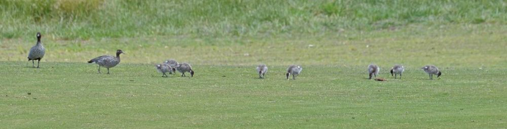 Wandering with the Wagtails.  Werribee that is (2/6)