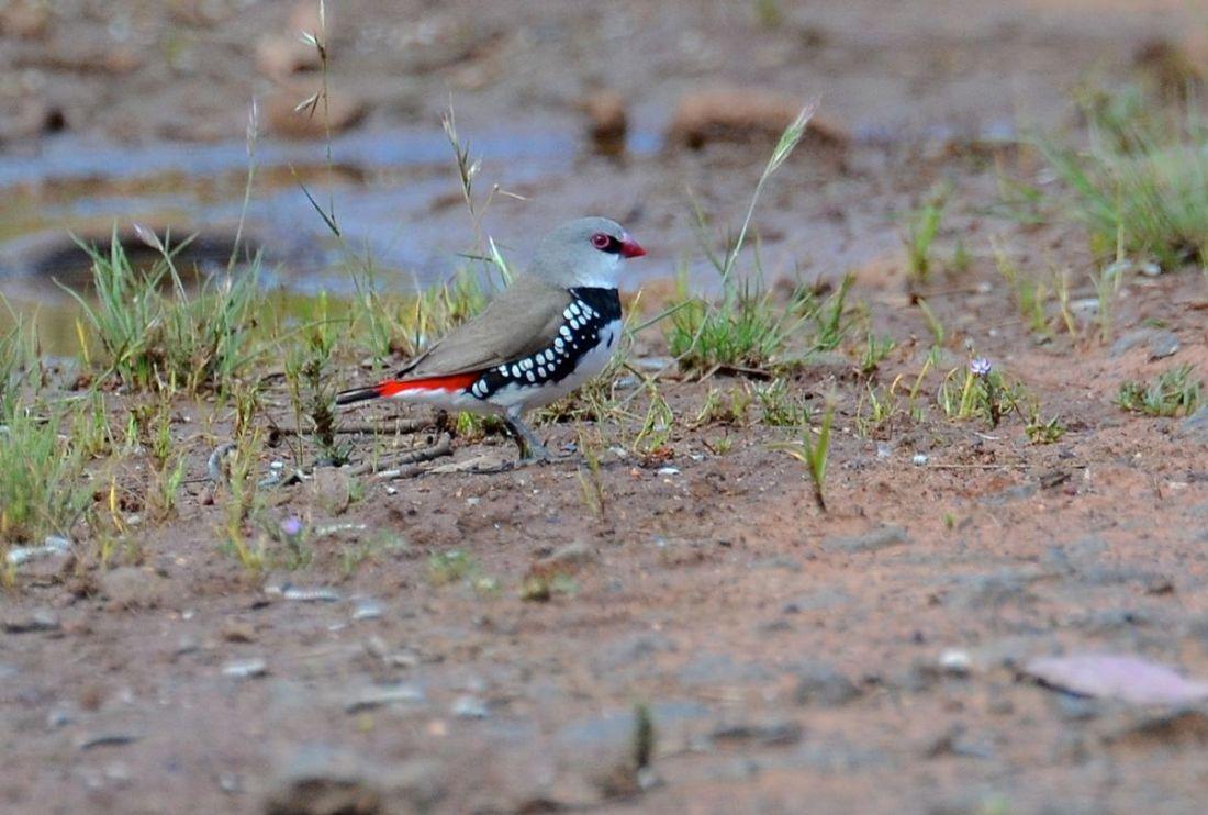 A Diamond Firetail at a distance.