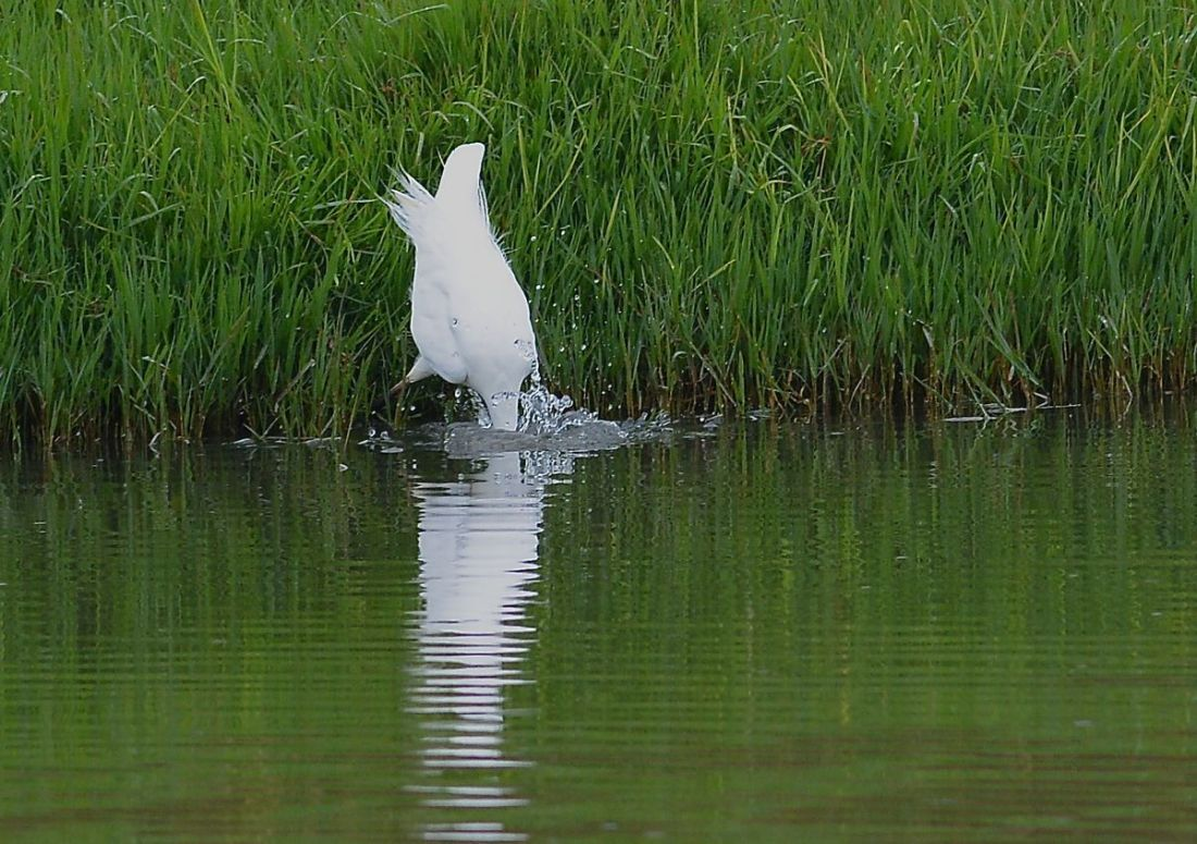 Got it,  Great Egret makes fishing look easy