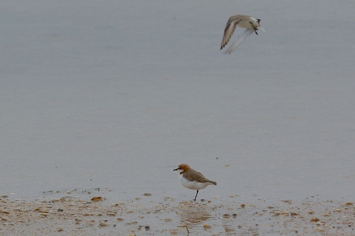 Red-capped Plovers