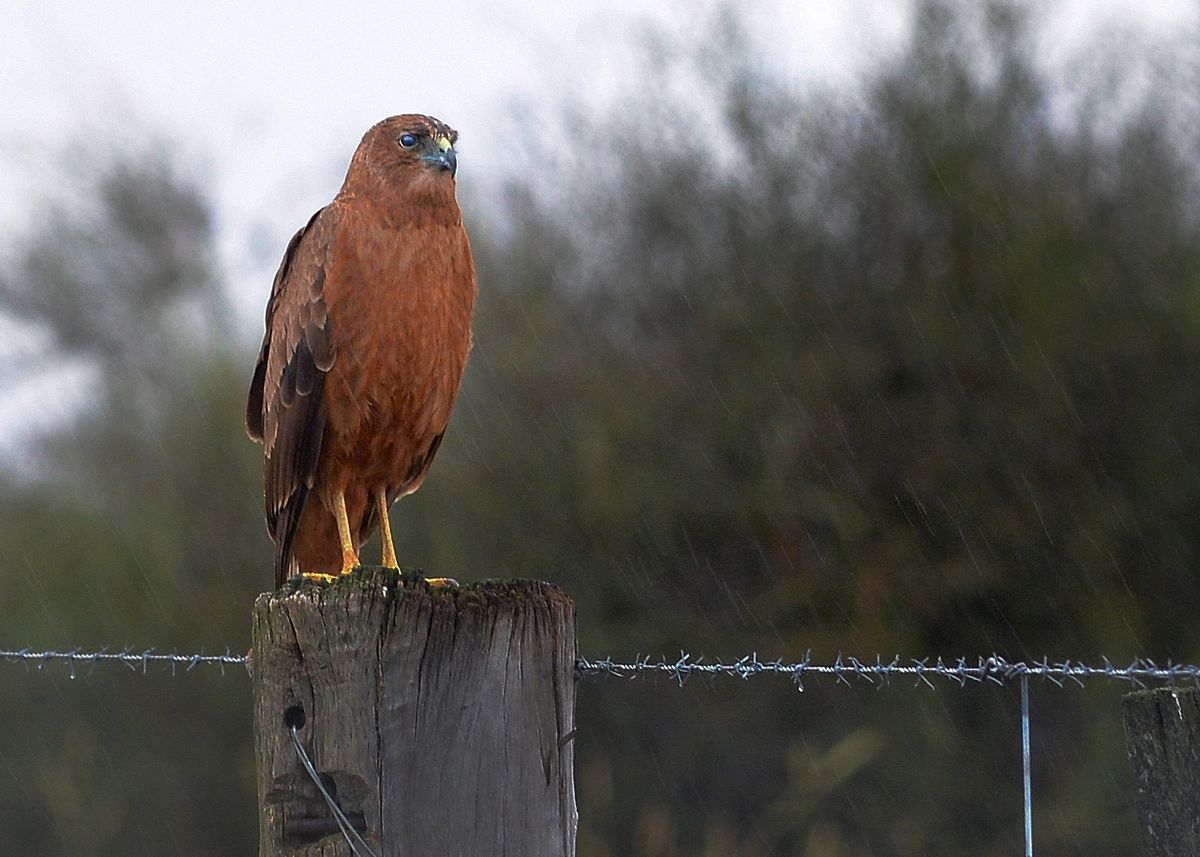 Swamp Harrier sitting in the rain.