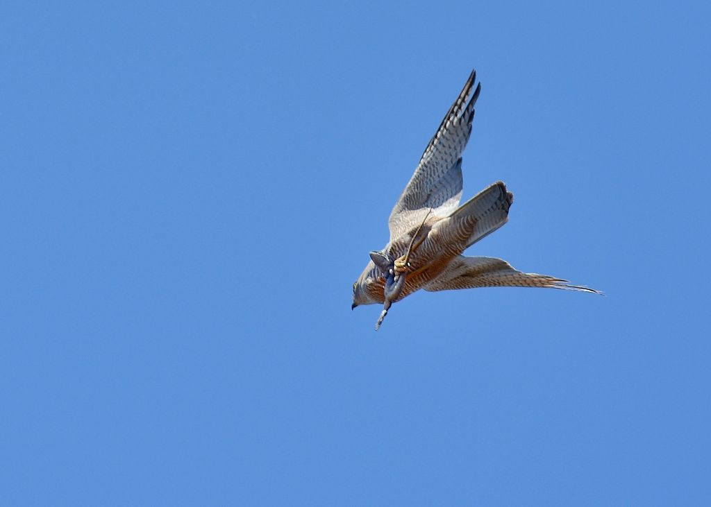 Brown Goshawk beating a hasty retreat from Woodswallows in hot pursuit