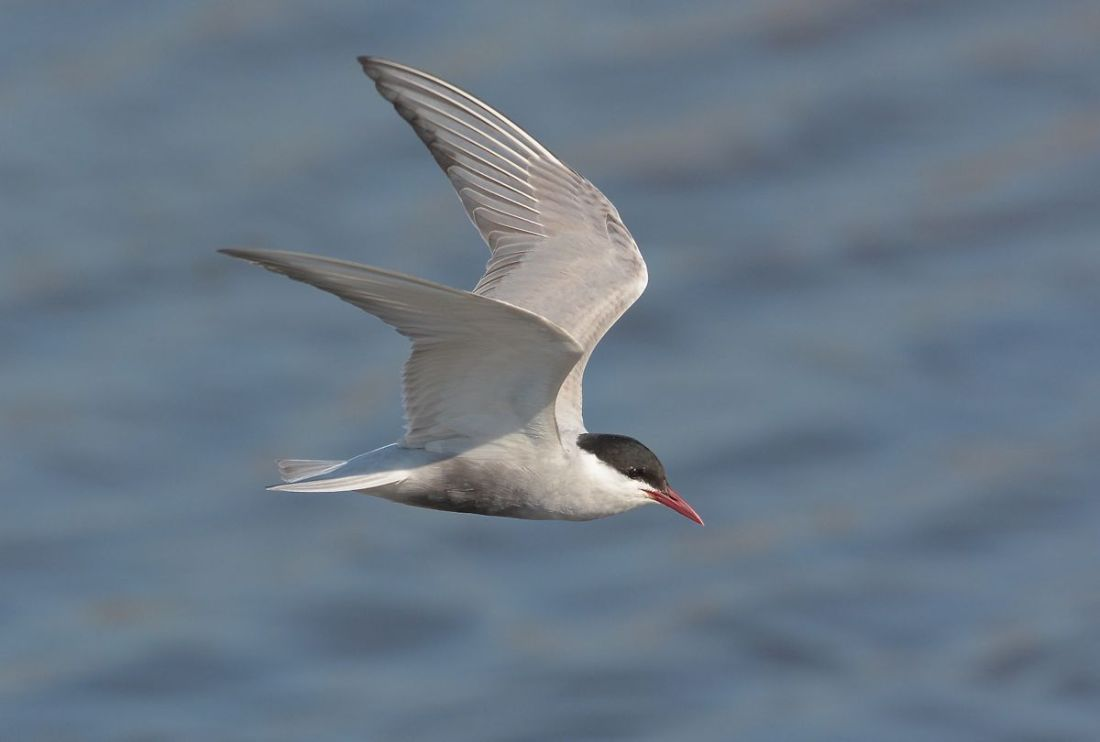 Whiskered Tern hunting on a small pool.
