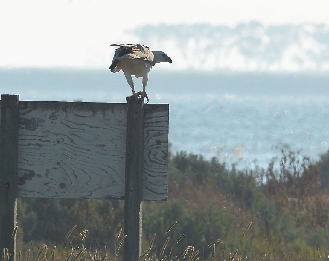 Too far, too dark, too late.  Still its a White-bellied Sea-eagle, with food.