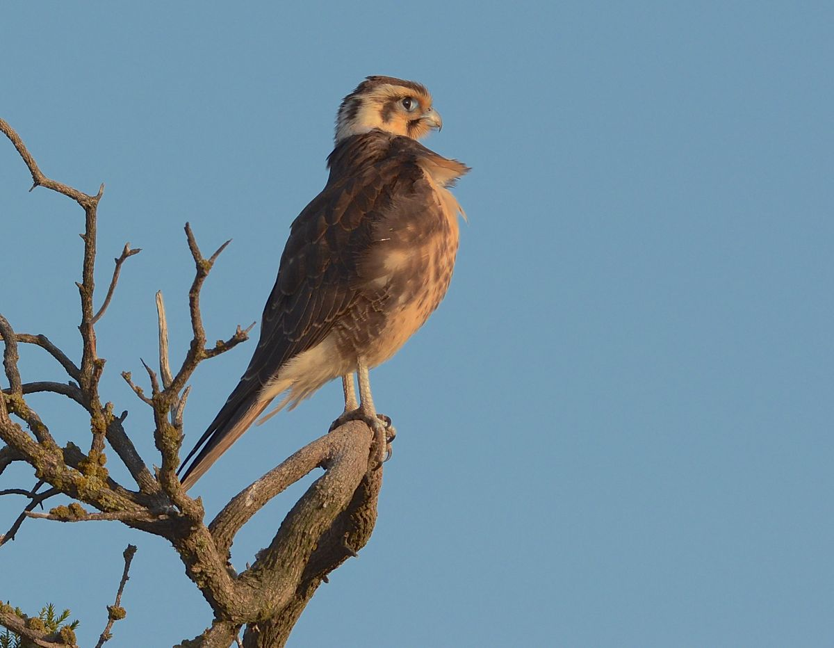 Preening in the burnishing light. Brown Falcon unconcerned by our presence