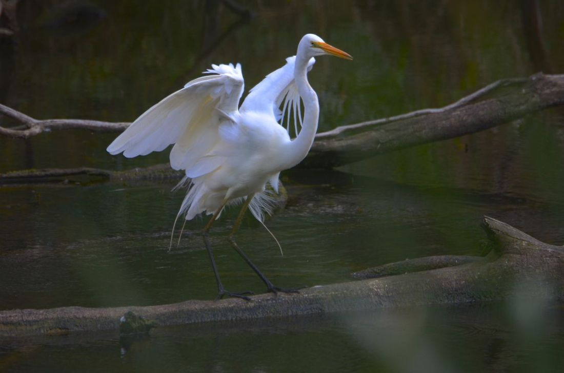 Great Eastern Egret