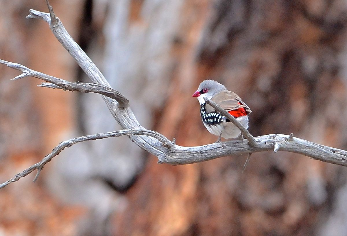 Diamond Firetail on display.