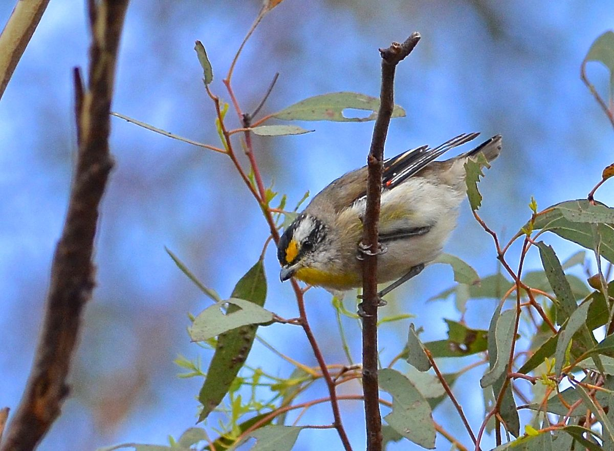 A Striated Pardalote. Probably at the last one I'll photograph.