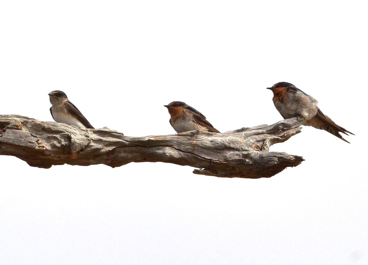 How to tell the difference between a Tree Martin and two Welcome Swallows.