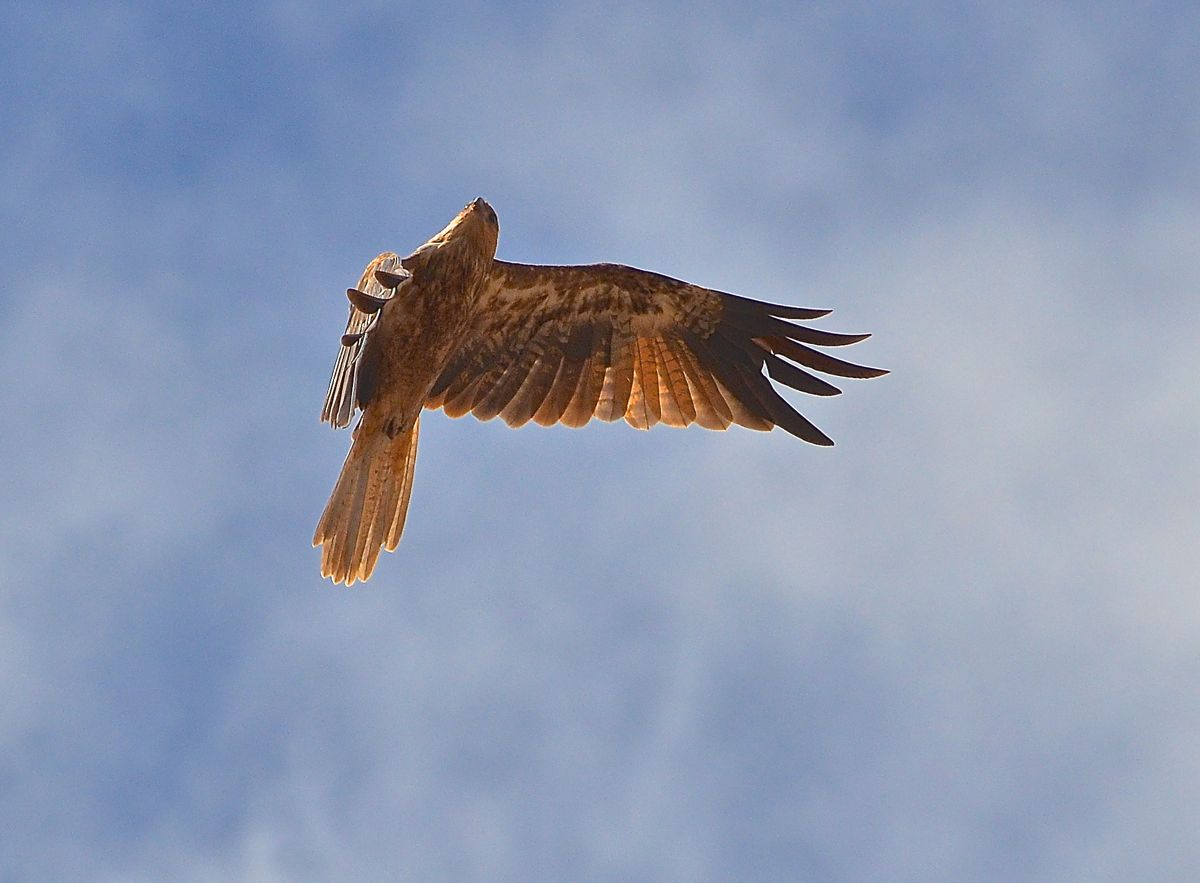 Over the tree tops at a great rate. This Brown Falcon was no doubt enjoying the strong winds