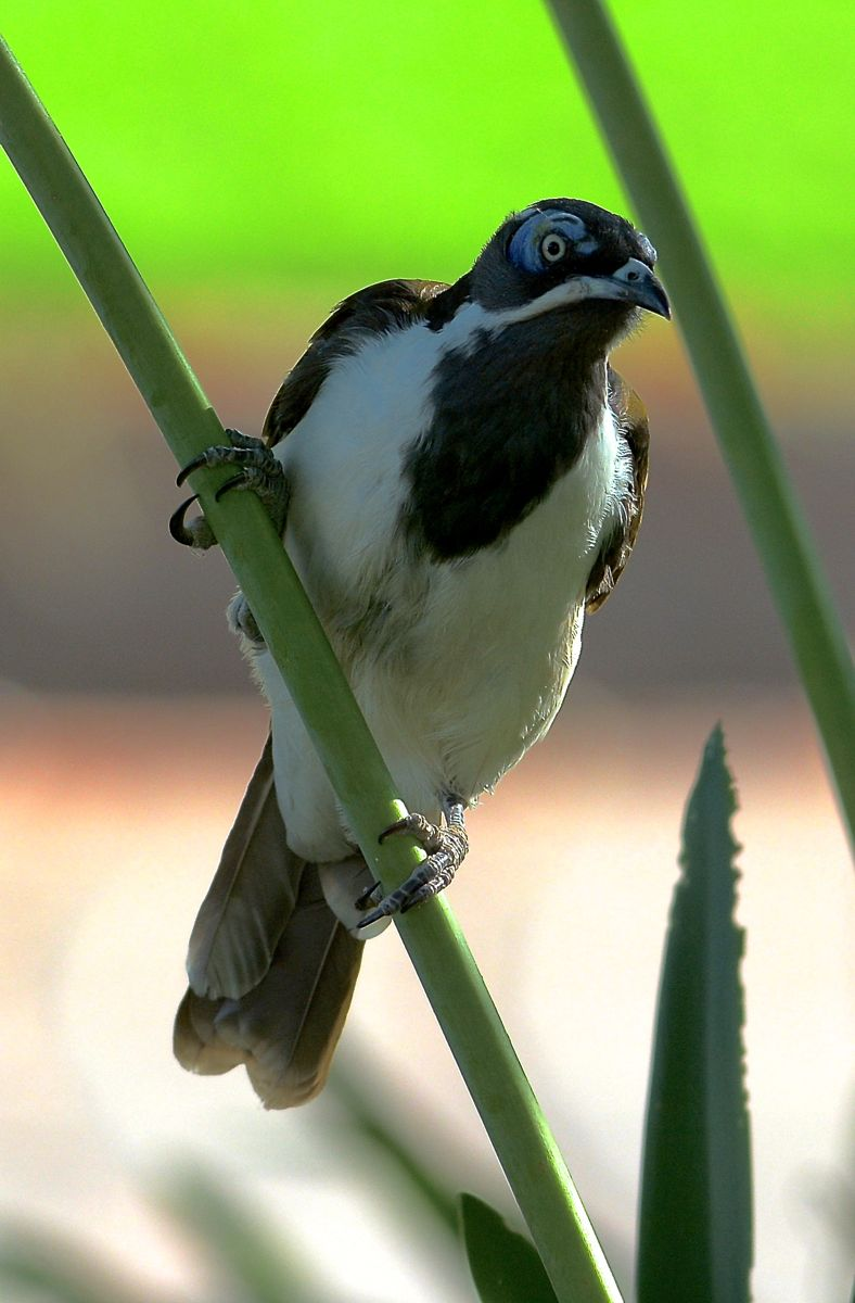 Blue-faced Honeyeater, welcoming committee